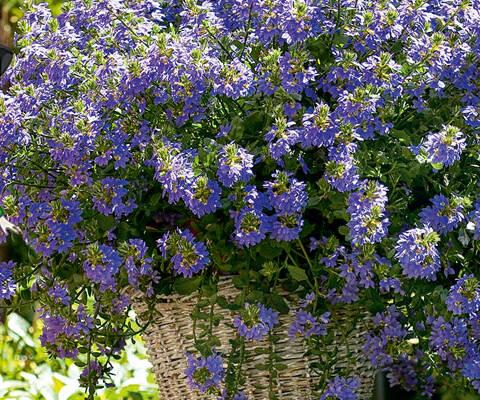 Blauröckchen –Pflanze des Jahres im Norden 2020