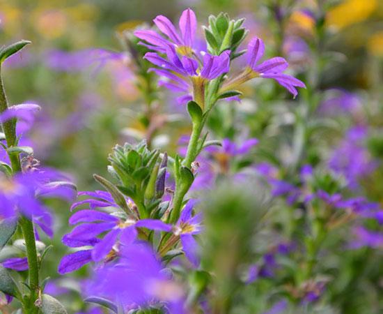 Blauröckchen aus Ihrer Gärtnerei Finder