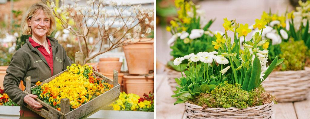 Hornveilchen und bepflanzte Frühlingskörbe Gärtnerei Finder